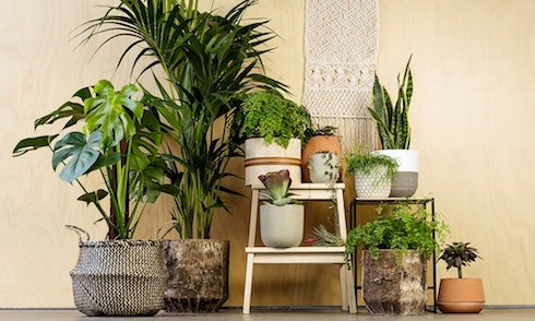 Tisztító növények a lakásban